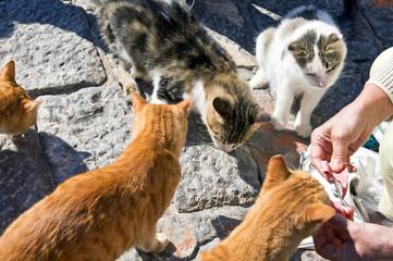 Five greek street cats eats