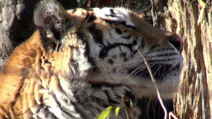charismatic tiger