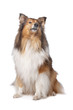 Rough Collie or Scottish Collie