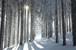 Forest trail among frosted pine trees