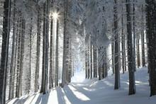 Sentiero nel bosco tra gli alberi di pino glassato