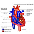 heart blood flow english vector illustration