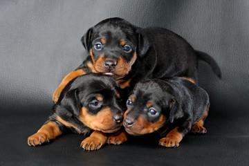 The Miniature Pinscher puppy, 3 weeks old