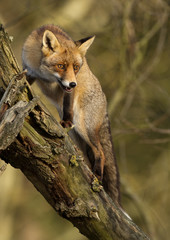 Red Fox in a tree