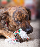 Brindled hound chewing on a Christmas toy poster