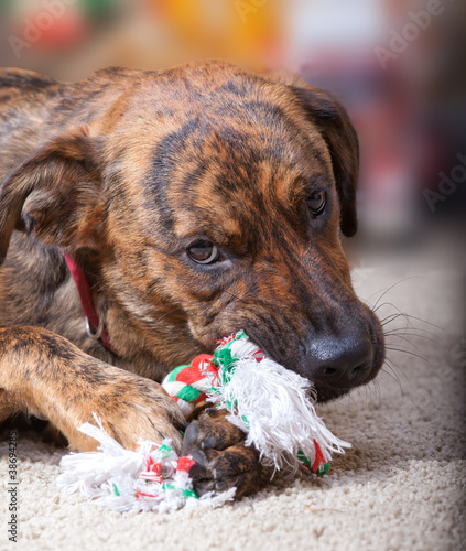 Brindled hound chewing on a Christmas toy