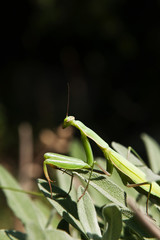 Mantis religiosa - praying mantis
