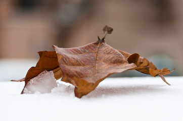 Dried Winter Leaf On Snow