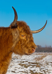 Portrait of red colored Highland cow with long horns