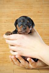 Miniature Pinscher Puppy, 3 weeks old