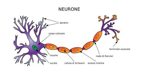Web Art Design NEURONE DIAGRAMMA NEURONE STRUCTURE médecine 20