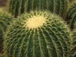 yellow barrel cactus