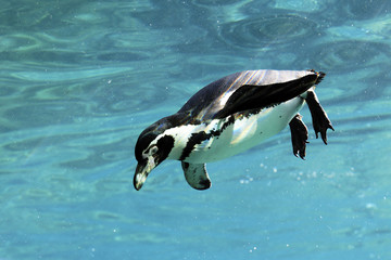 swimming auk