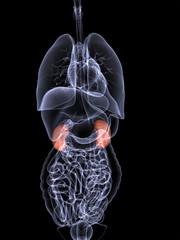 Internal Organs X-ray - Kidneys