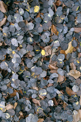 fallen leaves are dark in the late autumn