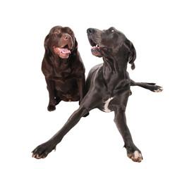 dogge und labrador