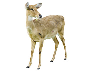 Deer isolated on the white background.