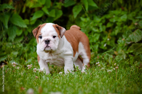 cute english bulldog puppy standing outside