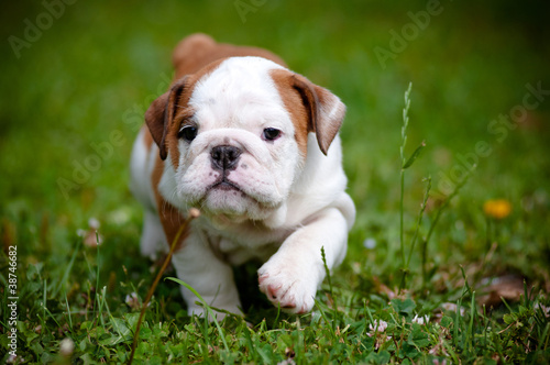 english bulldog puppy outdoors