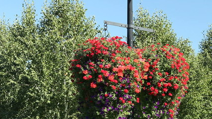 Two Very Large Red and Purple Petunia Hanging Flower Baskets