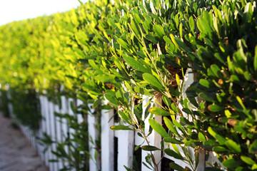 белый маленький забор с густыми зелеными кустами