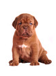 Dogue De Bordeaux puppy sitting