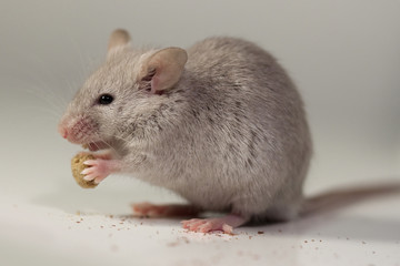 Mouse eating