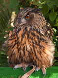 beautiful large owl in captivity poster