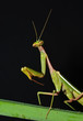 portrait of praying mantis