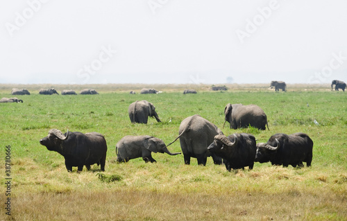 African Buffalo and elephants  in Tanzania