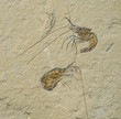 Fossil of 2 prawns or shrimps. Aeger tipularius.