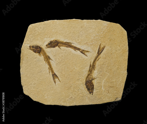 Three fossilized fish, isolated on black.
