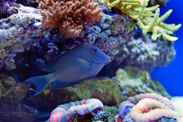 Kole Tang Spotted surgeonfish