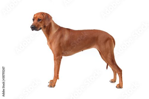 Rhodesian Ridgeback dog breed on a white background