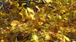 Golden autunn leaves