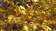 Golden autunn leaves