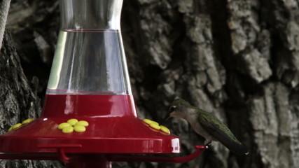 Hummingbird drinking from a bird feeder.