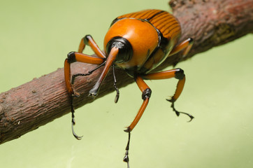 palm weevil snout beetle