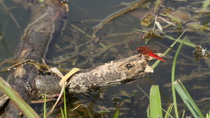 Dragonfly flying and returning to branch in pond.