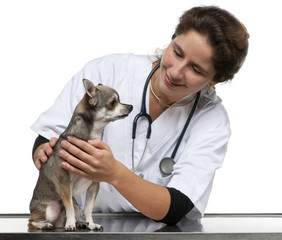 Vet examining a Chihuahua in front of white background