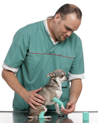 Vet examining a Chihuahua paw in front of white background