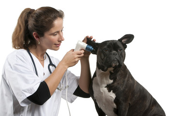 Vet examining a Crossbreed dog, dog with an otoscope