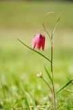 Chess Flower, Schachbrettblume, Fritillaria meleagris