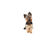 Yorkshire Terrier in front on white background