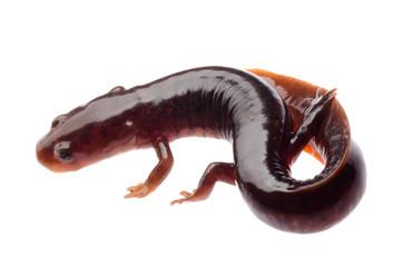 Chinese tsitou salamander newt