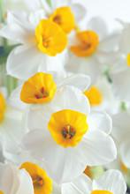 Kwiaty Narcyz