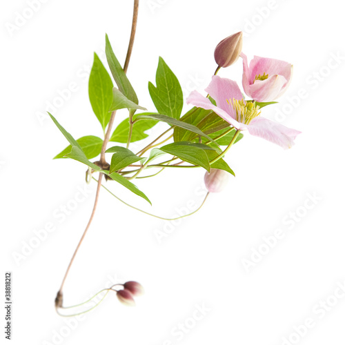 pale pink clematis; buds and leaves isolated on white;