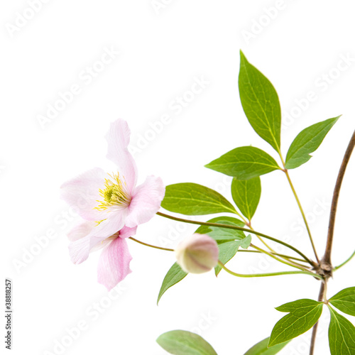 pale pink clematis; buds and leaves isolated on white