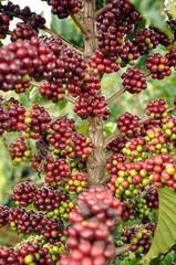 Kaffee Pflanze Vietnam Asien