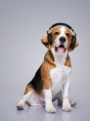 Beagle dog wearing headphones.
